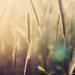 floating cornfields