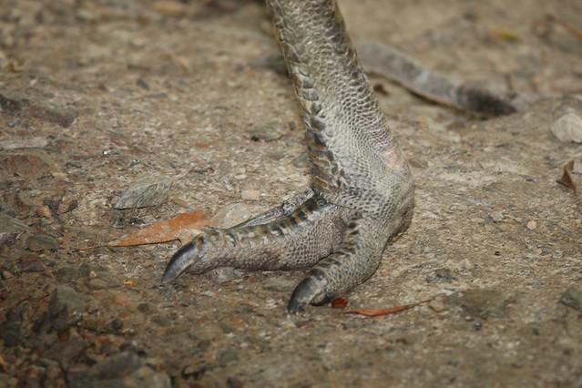 Cassowary bird foot - photo#23