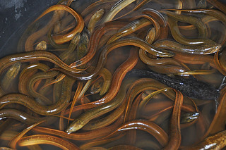 Kabanjahe - Swamp Eel for Sale | by Drriss & Marrionn