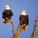 Bald Eagle Couple are Watching Sunset