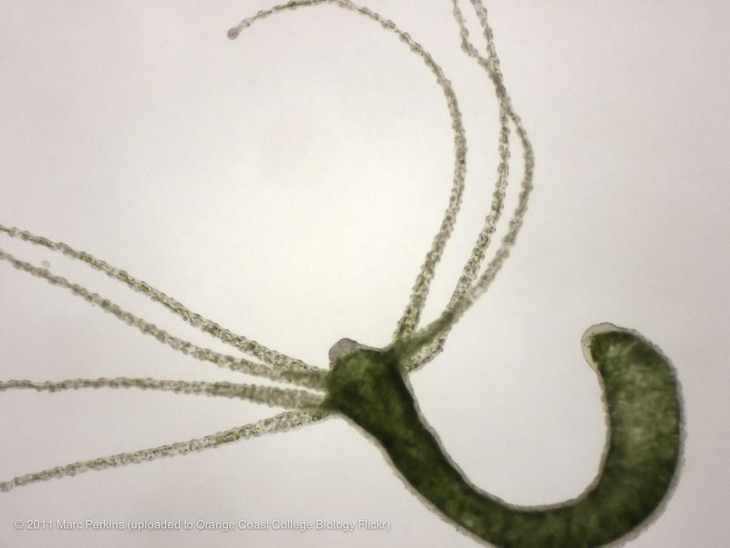 Live hydra 3 | A whole live green hydra (Phylum Cnidaria ...