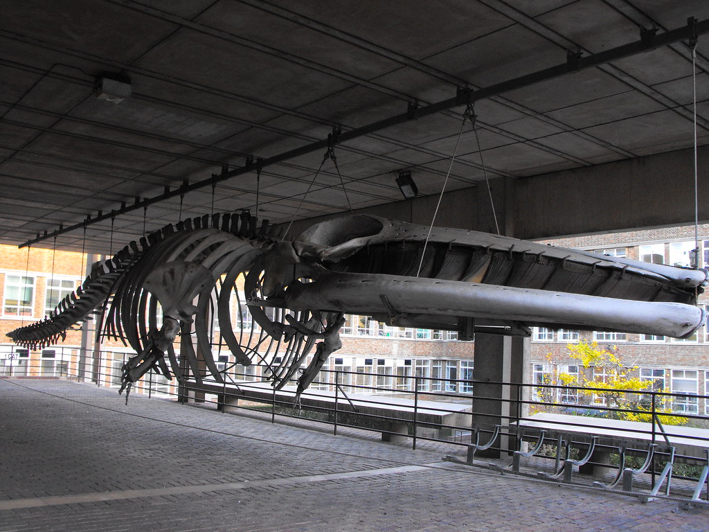 Fin whale skeleton - photo#50