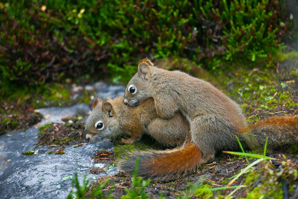 squirrels having sex