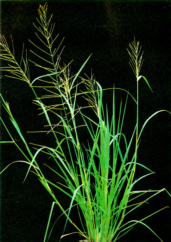WEED Control in Rice_p21a | Lowland rice weeds / POACEAE ...