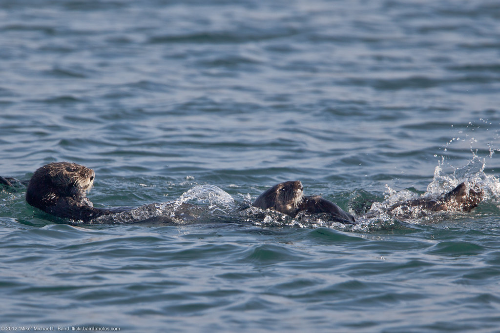 Sea Otters Enhydra lutris play at Target Rock   Sea Otters ...