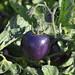 tomato003TW
