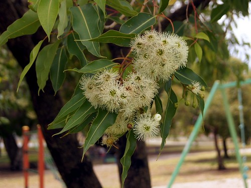 Marri  - Corymbia calophylla | by Tatters ❀