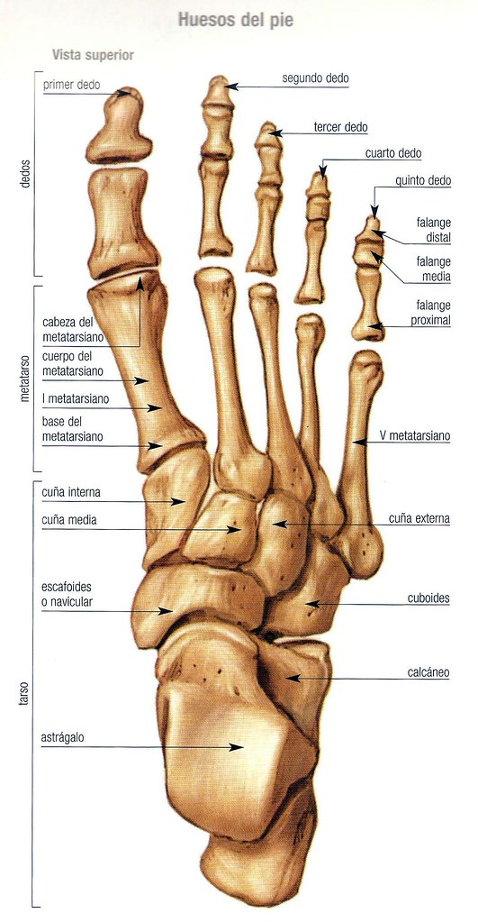 Partes del pie humano huesos / Elder Scrolls Skyrim Library Beast