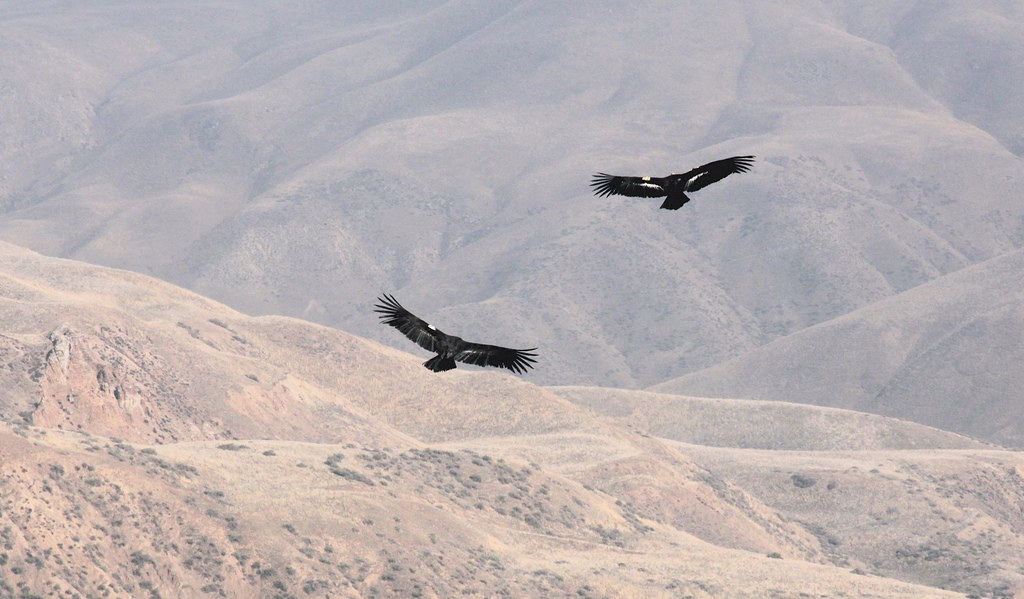 California condor pair in flight bitter creek national for California department of fish and wildlife jobs