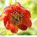 Paeonia tenufolia