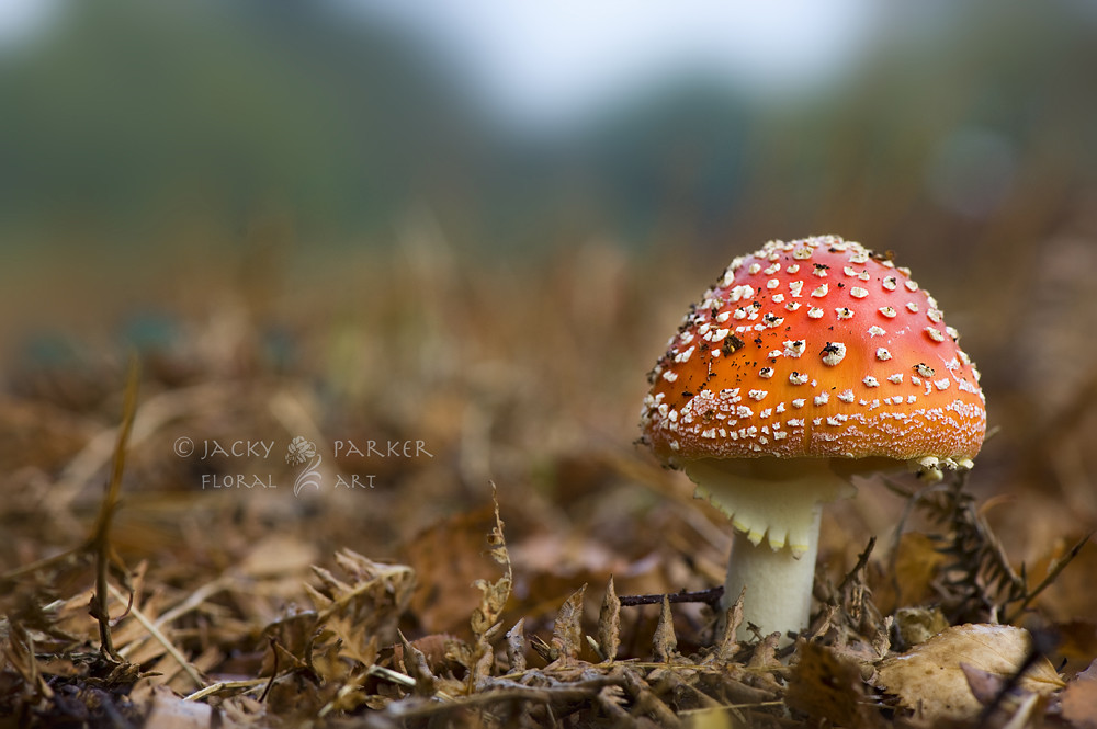 Fly-Agaric by Jacky Parker