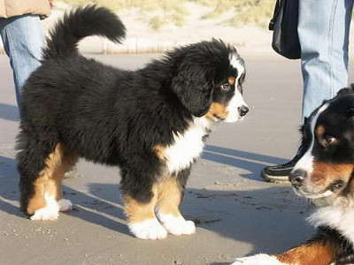 Cute bernese mountain dog puppies in snow