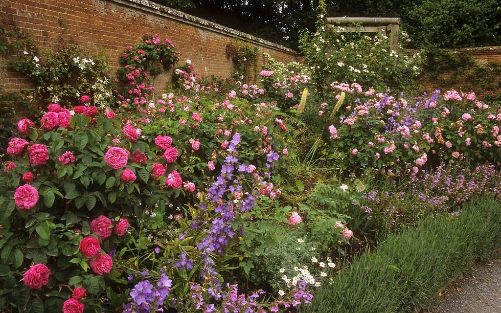 Roses In Garden: Mottisfont Abbey Rose Gardens, Hampshire, UK