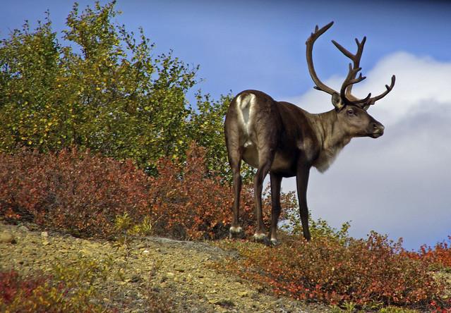 caribou tags alaska
