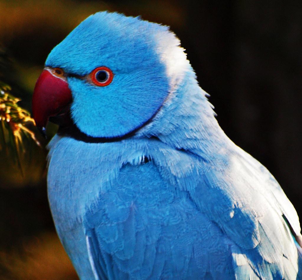 blue alexandrine parakeet blauer alexandersittich flickr
