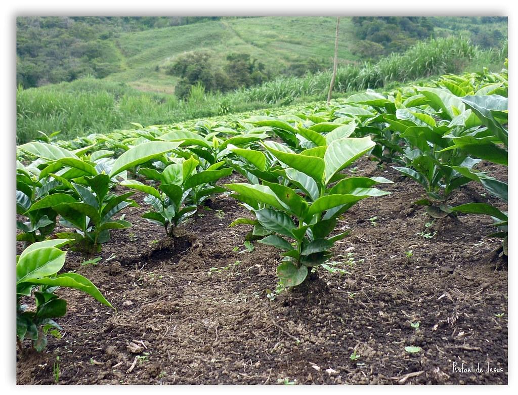 Vivero de cafe para renovar por plantas viejas rafael for Viveros de plantas