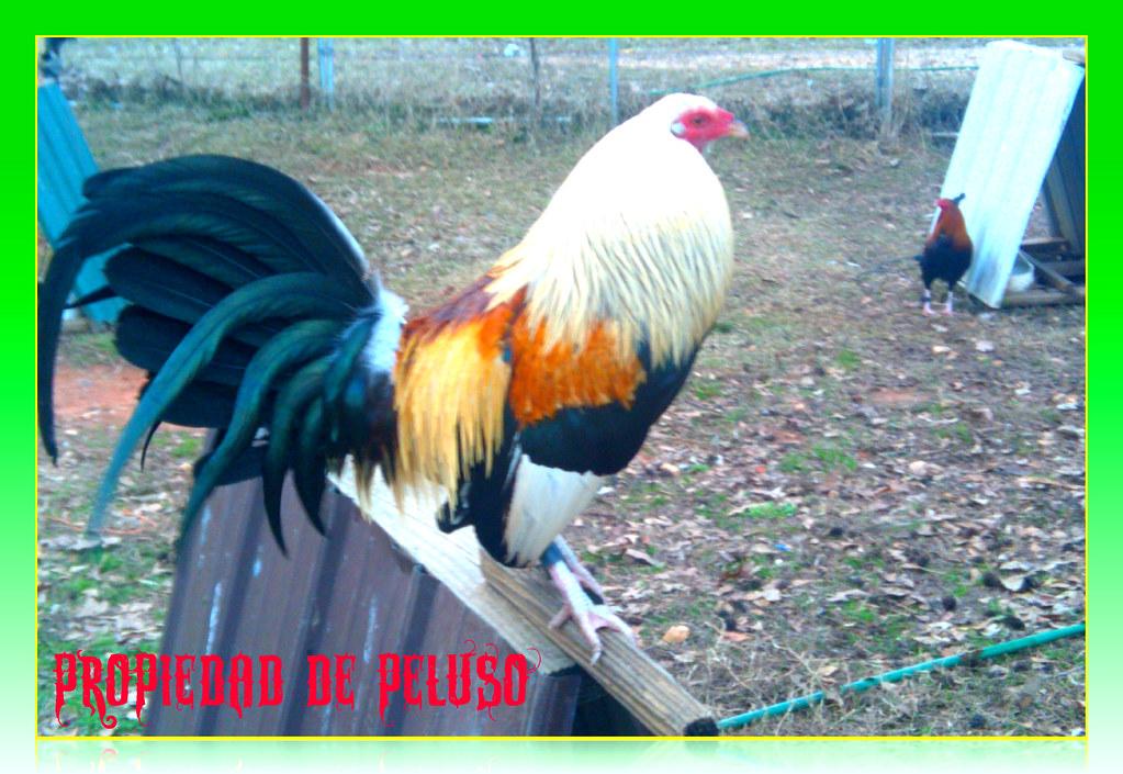 mis gallos | este es un gallo de mis crias crusado con un