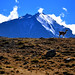 Guanaco -Torres del Paine (Chile)