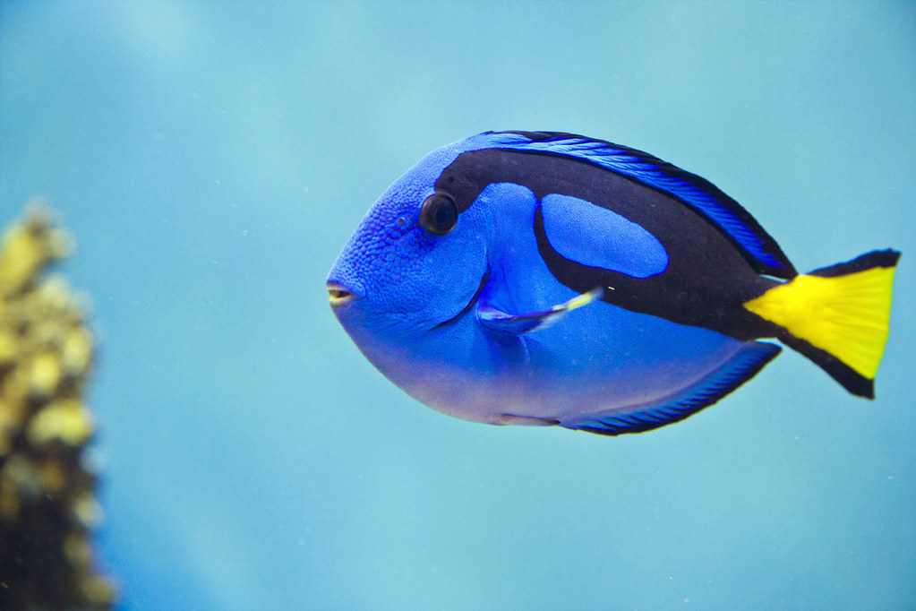 Regal tang paracanthurus hepatus is a species of indo for Royal blue tang fish