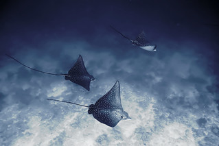 Spotted Eagle Ray | by Abllo™