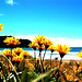 Yellow flowers on Whangamata beach dunes