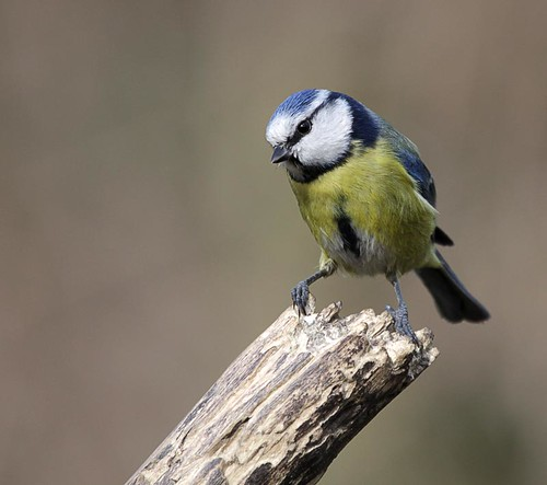 blue tit 4 | by NRE