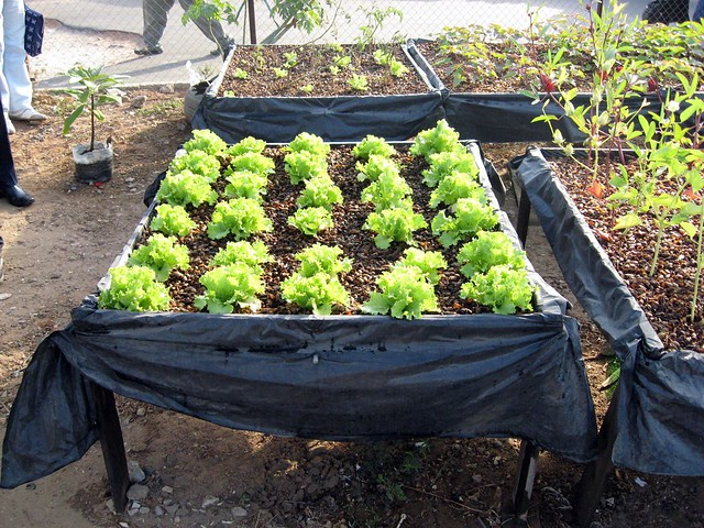 Lettuce grown in urban garden in dakar senegal laitue for Jardin urbain