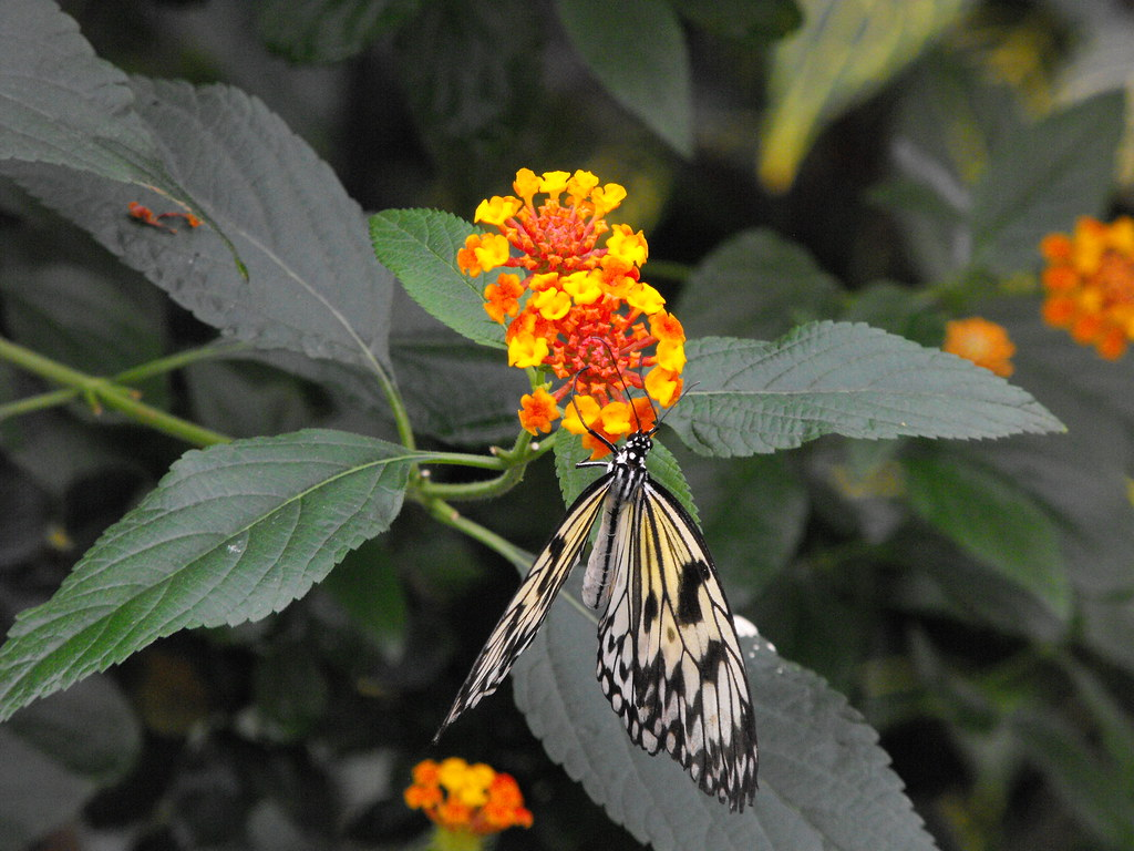 Wood Nymph (Butterfly) | Wood Nymph (Butterfly) Latin ...