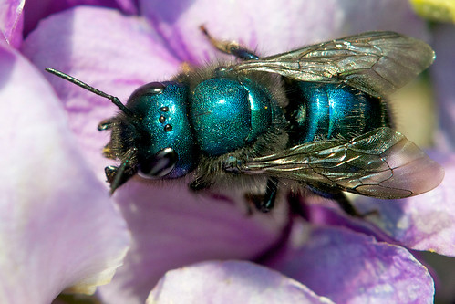 Bees Blue Blue Mason Bee | by