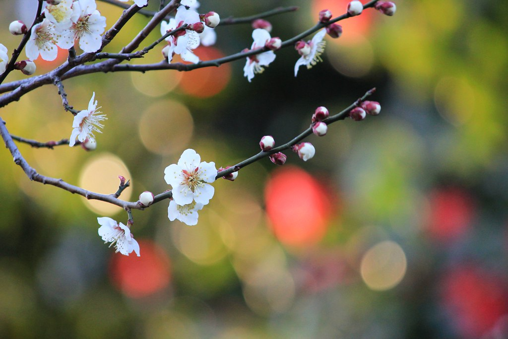 Plum blossoms with colorful bokehs   Red bokehs are ...
