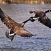 Canada Goose In Flight ( Branta canadensis )