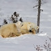 Polar Bear Adventure 2012