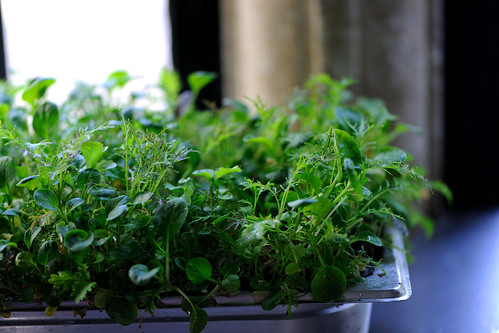 Growing micro cress in kitchen | by Great British Chefs