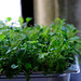 Growing micro cress in kitchen