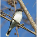 Eastern Kingbird__IMG_7744