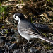 White Wagtail - Maríuerla
