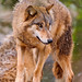 Wolf looking on the side
