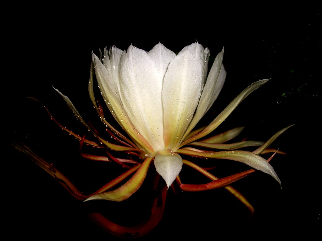 Queen of the night flower queen of the night flower an am flickr - Flowers that bloom only at night ...