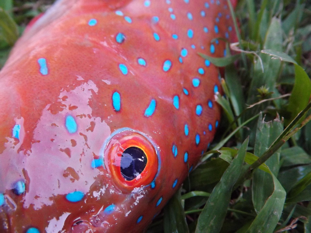 Coral trout this fish is probably one of the best for Best tasting fish