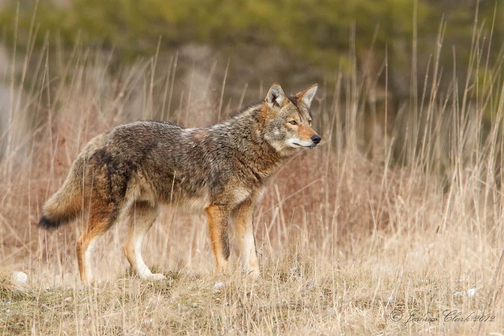Eastern Coyote | Taken...
