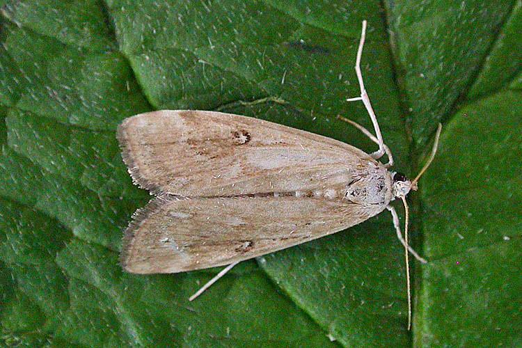 Ringed China Mark Suffolk Moths