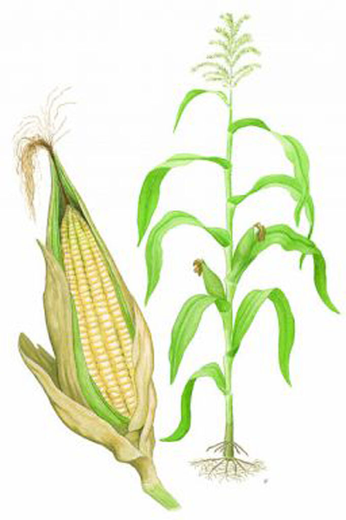 Corn Plant Diagram Corn Plant Diagram Corn