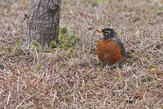 American Robin | by Stephen J Pollard (Loud Music Lover of Nature)