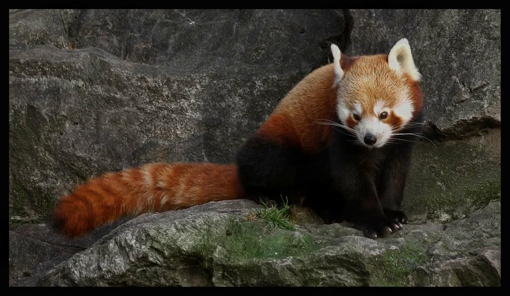 red panda just got - photo #7