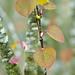 110404_074_Cercidiphyllum japonicum f. japonicum.jpg