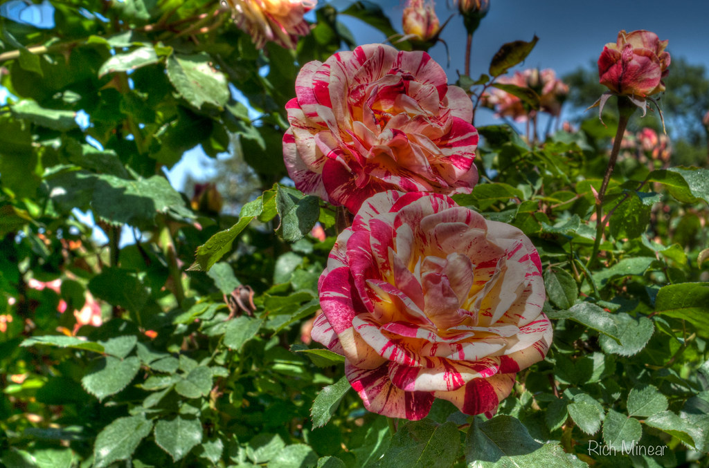 Candy Cane Roses | Roses at the Rose Garden in Gage Park ...