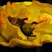 Welsh poppy flower opening