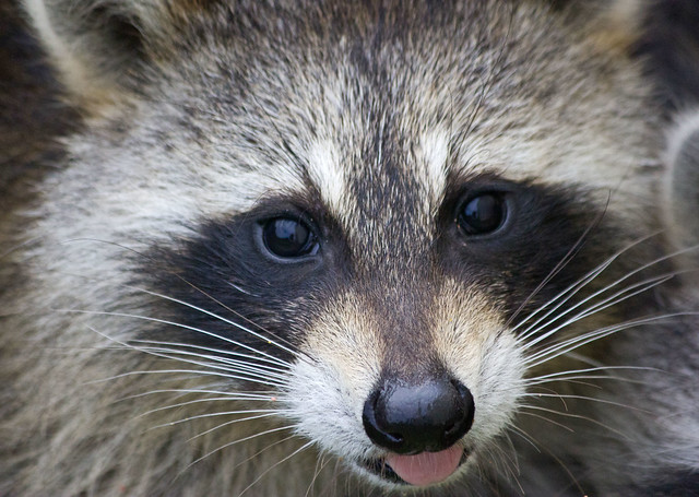 Raccoon funny face | Flickr - Photo Sharing! Raccoon Face