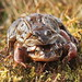 Common Toads (Bufo bufo) 9891