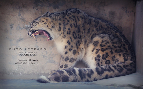 Snow Leopard - Rarity Unveiled (Only in Pakistan) | by Fotorix Studio